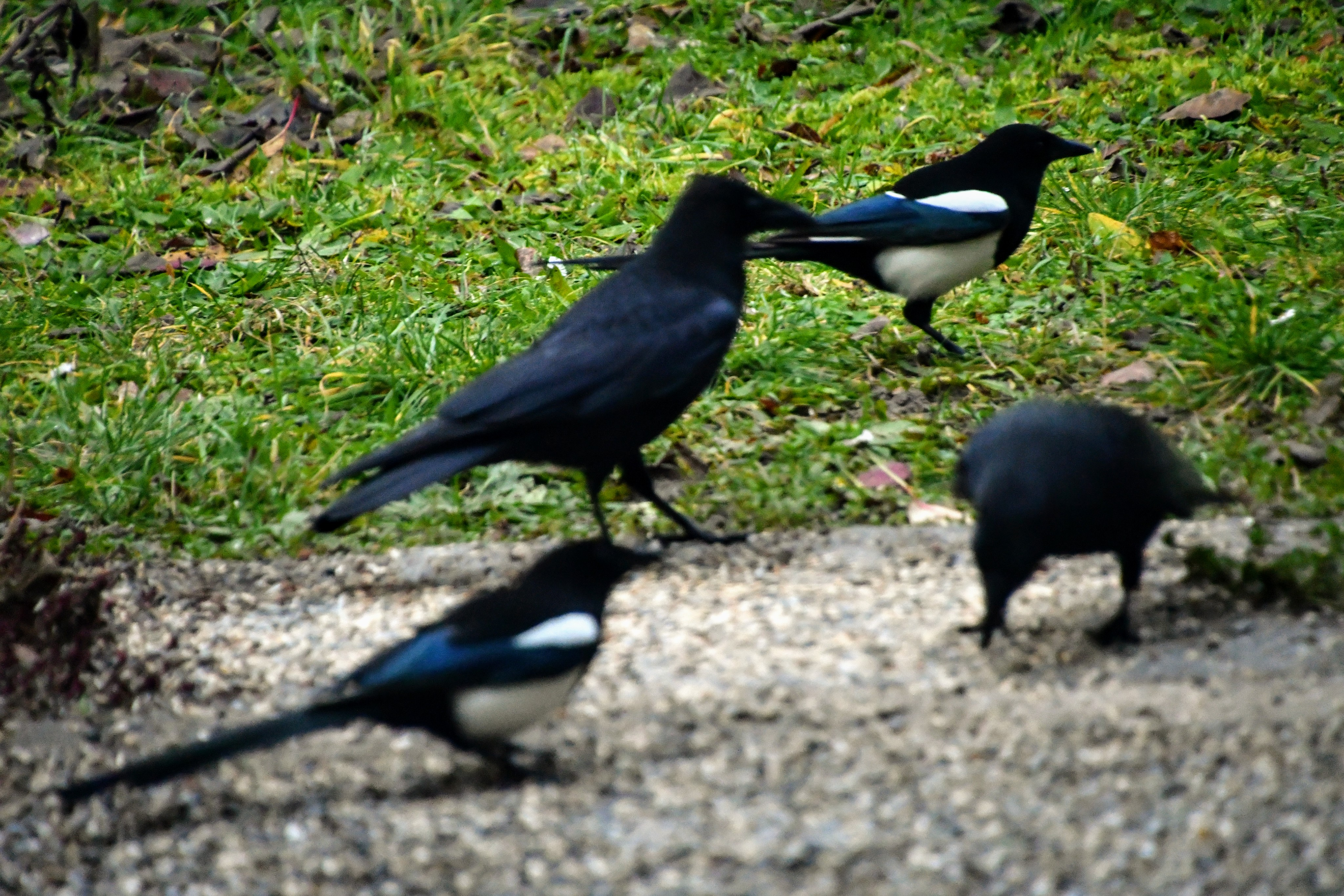 magpies-and-crows-16.12-1