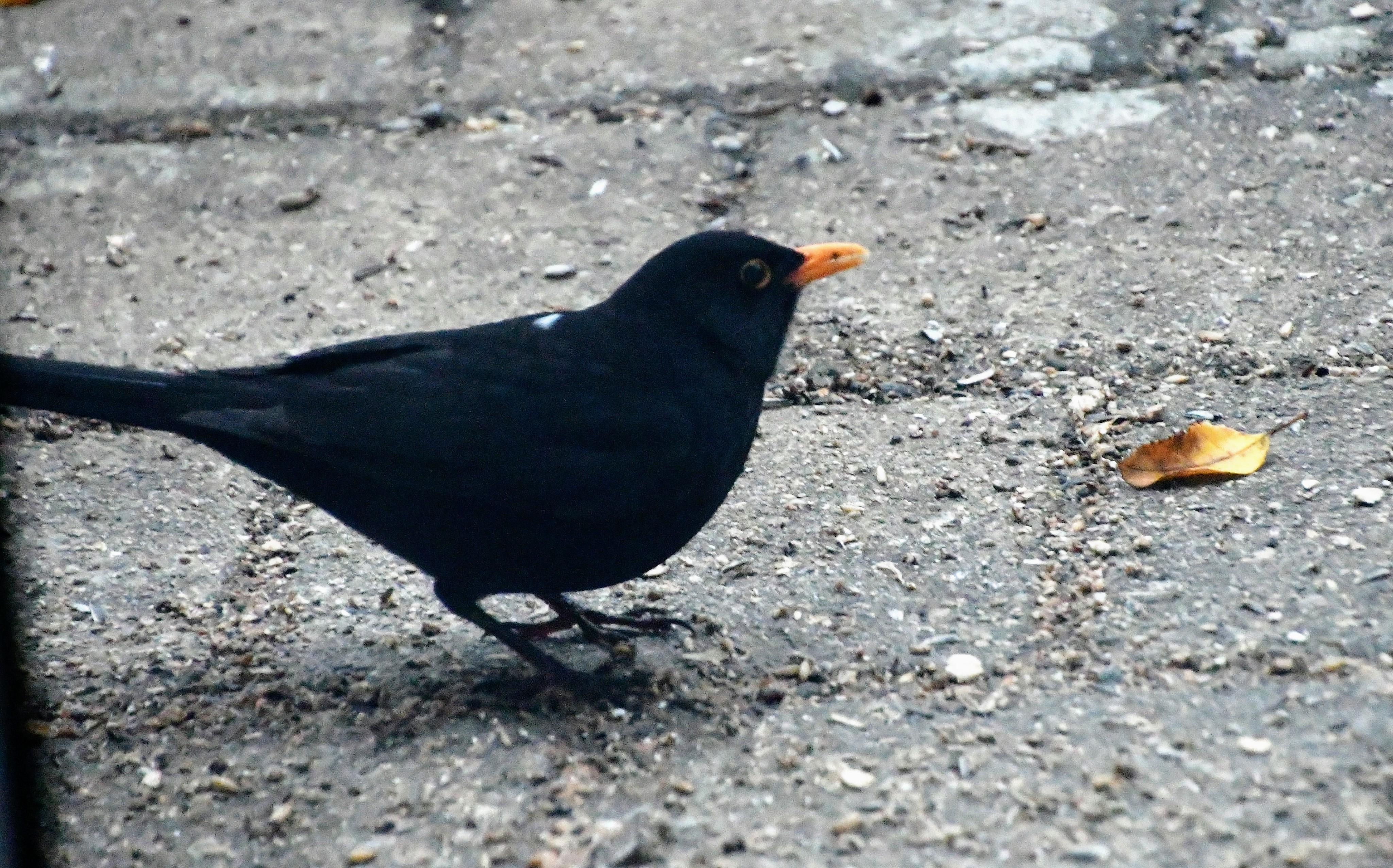 blackbird-01.01-1-1