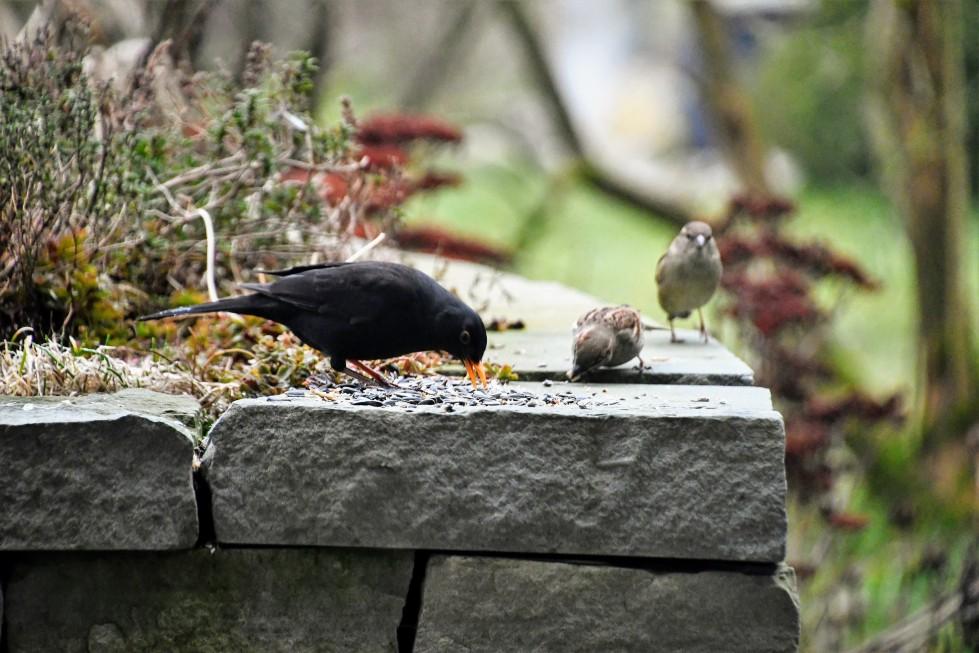 blackkbird-26.01-11