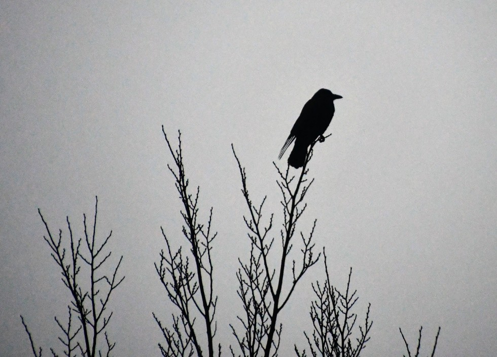 crows-12.01-2