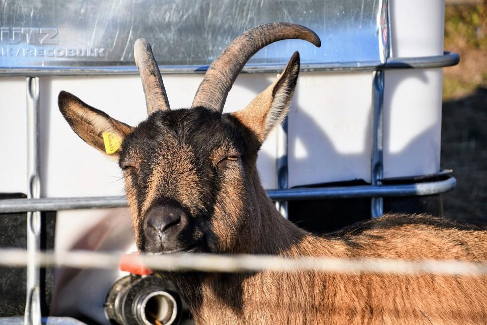 goat-16.01-4