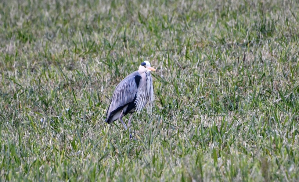 grey-heron-11.01-8