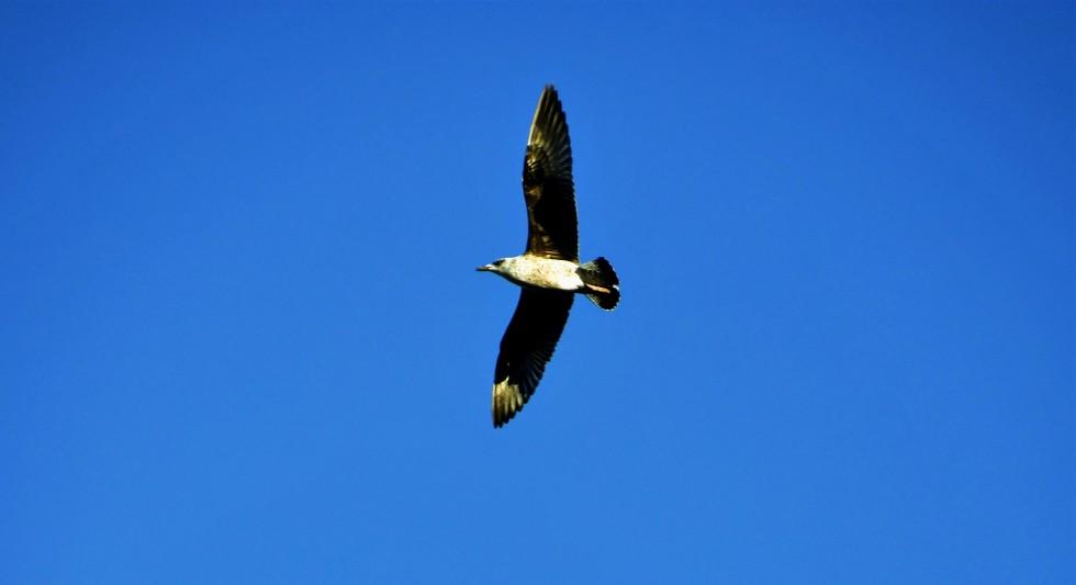 gulls-05.01-13