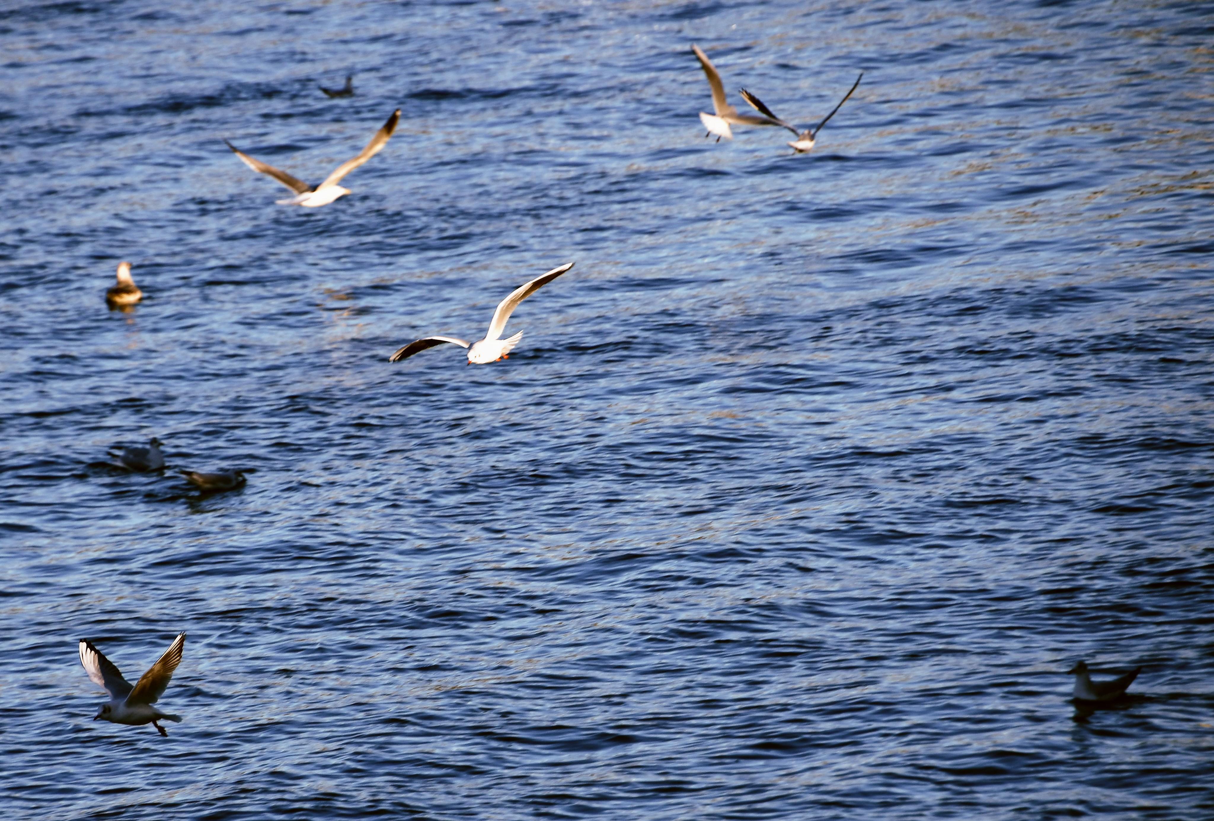 gulls-05.01-19