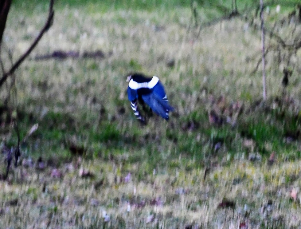 magpie-in-flight-21.01.2010