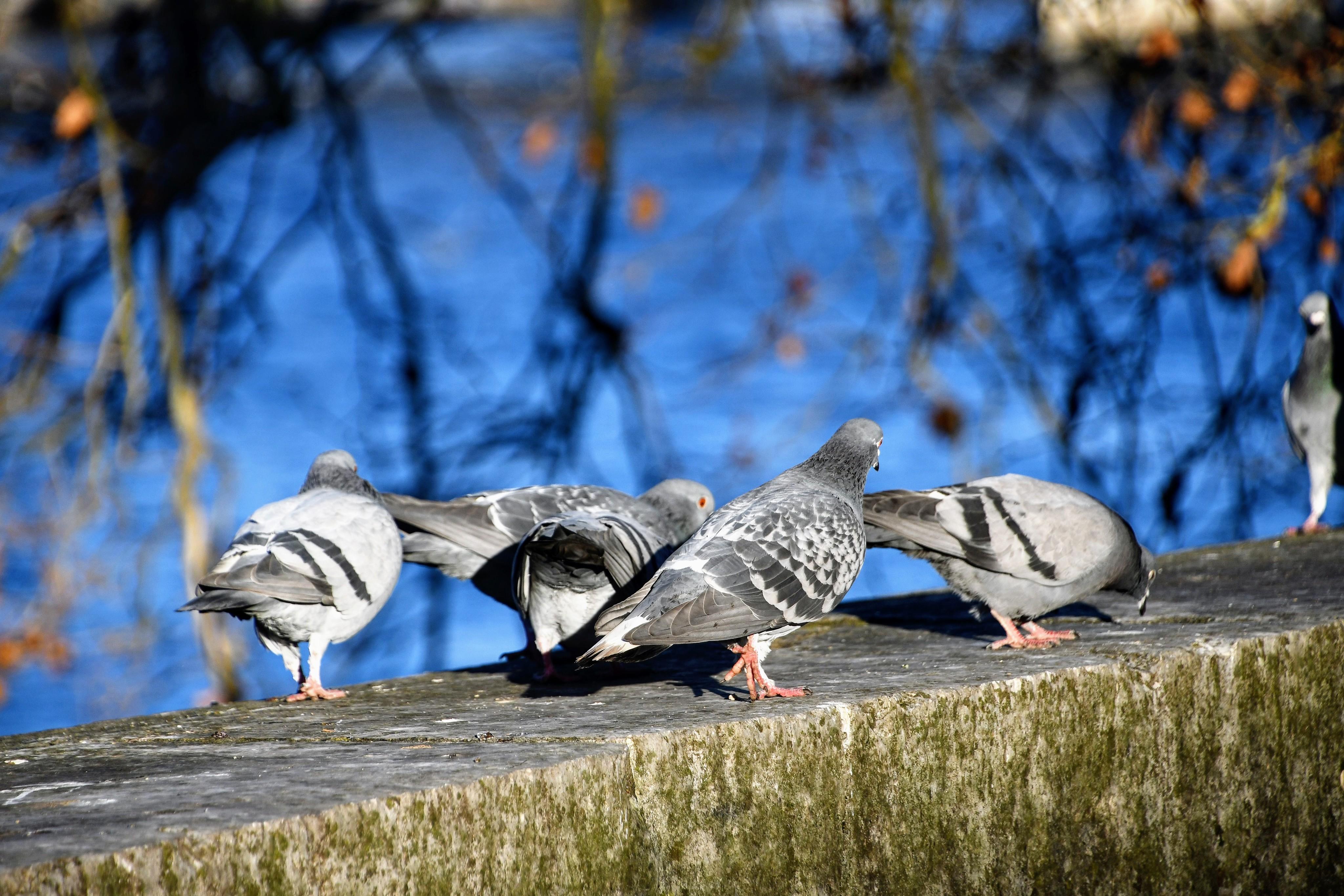 pigeons-05.01-6-1