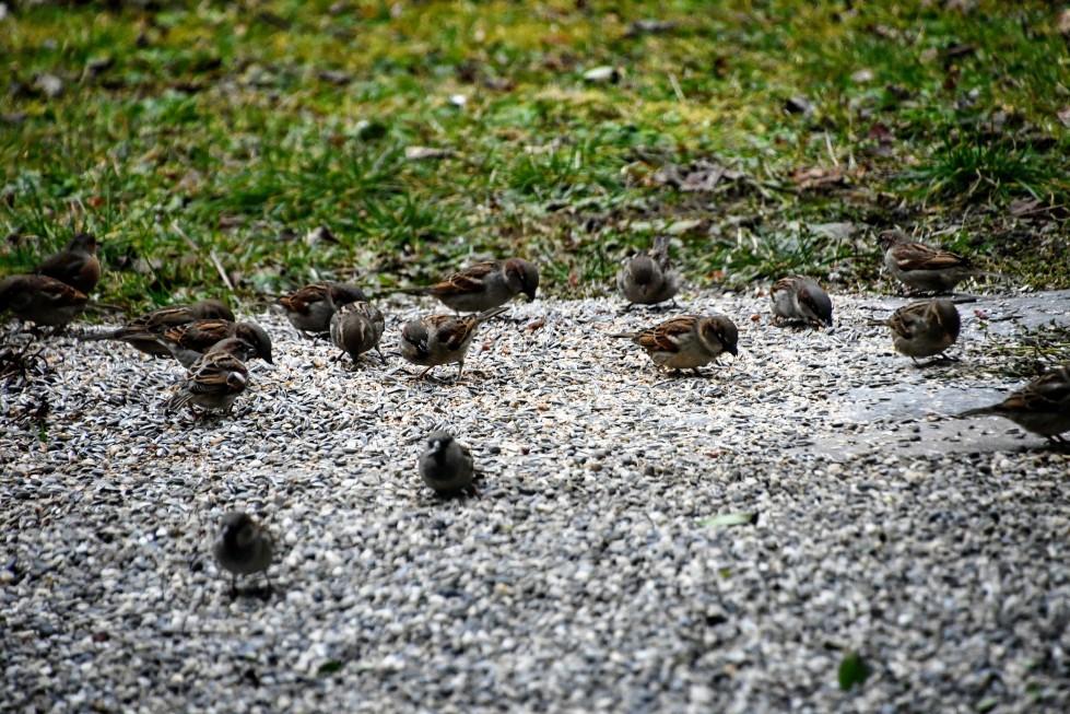 sparrows-23.01-5