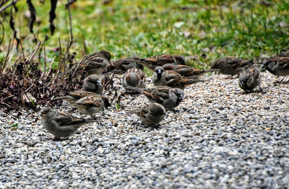 sparrows-26.01.2020