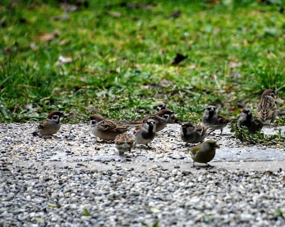 sparrows-31.12-2