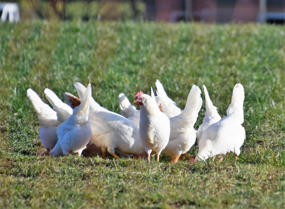 chickens-06.02-11