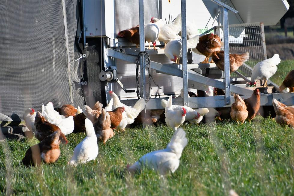 chickens-06.02-20