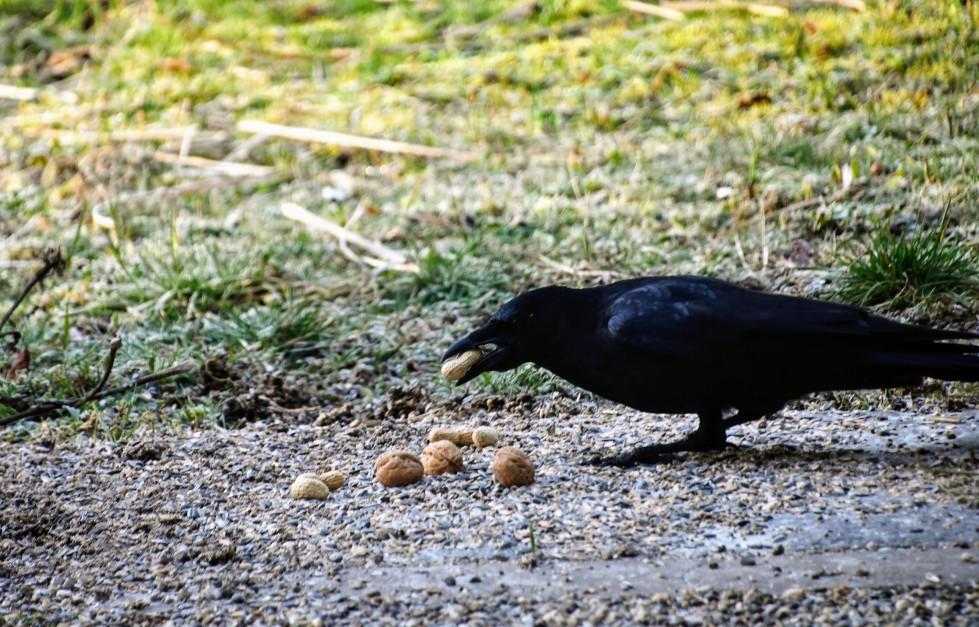 crow-09.02-2