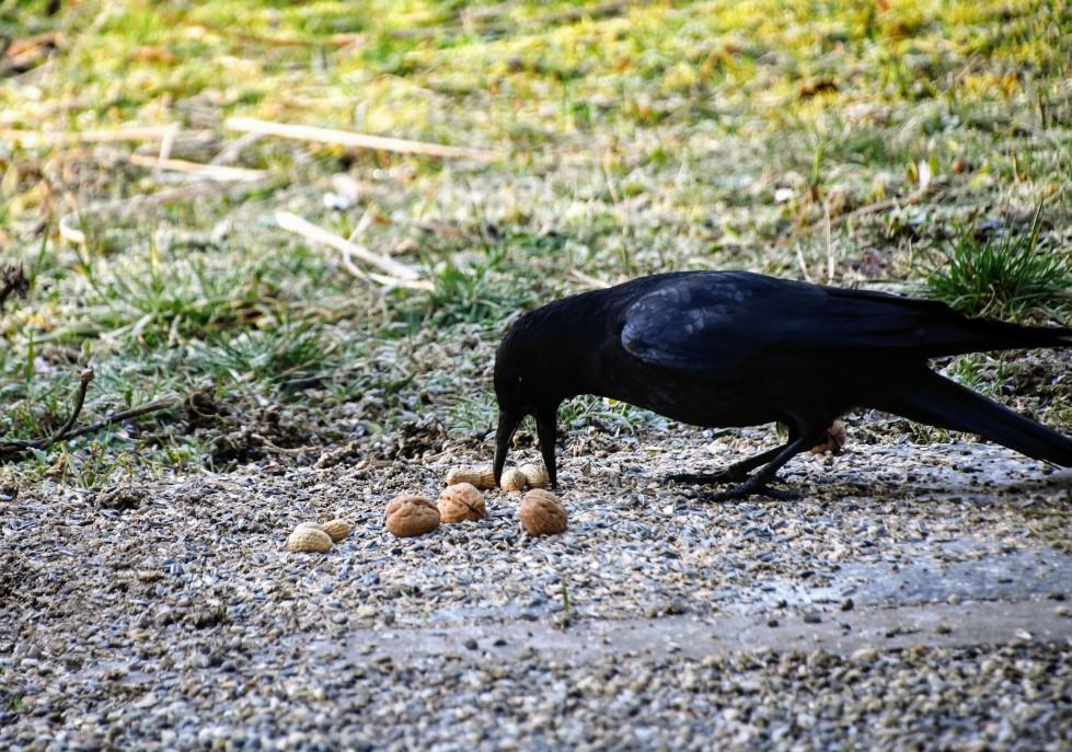 crow-09.02-3