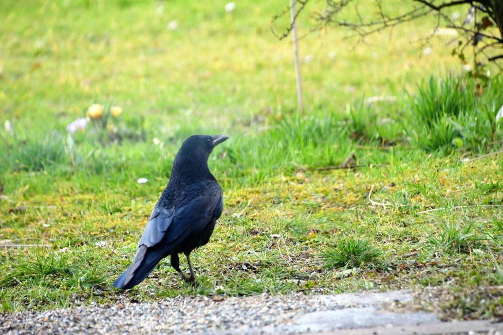 crow-18.02.2020