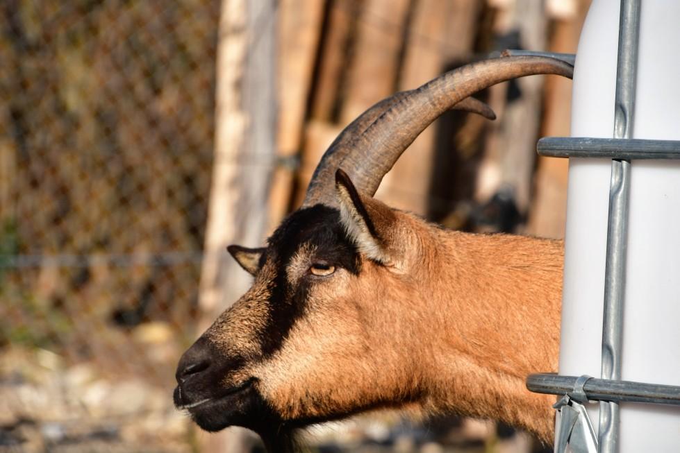 goat-16.02-7