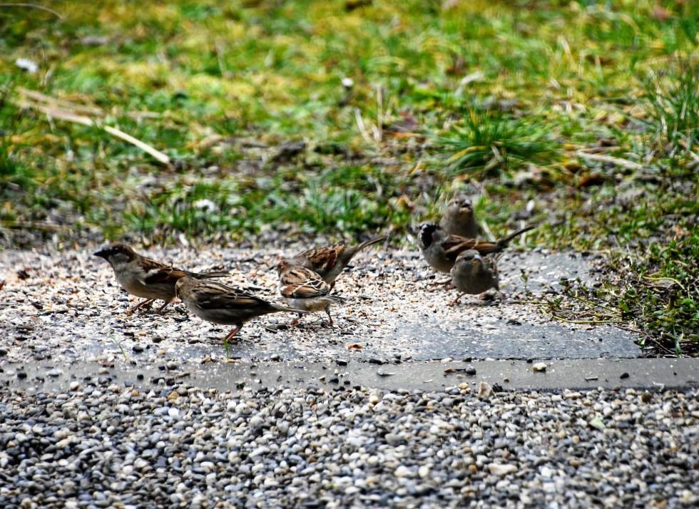 sparrows-01.02-3