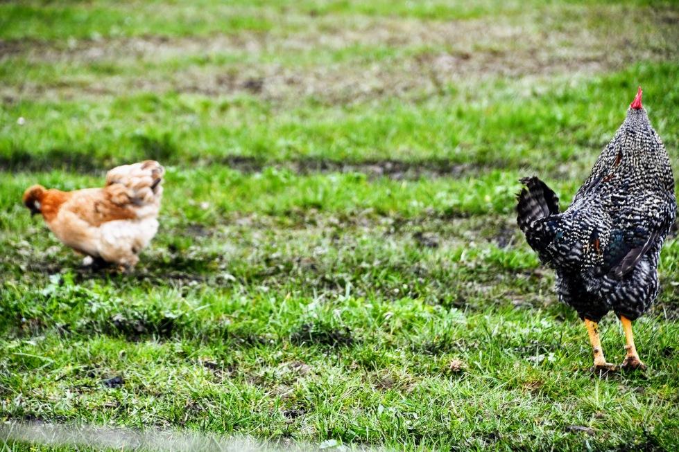 chickens-14.03-13