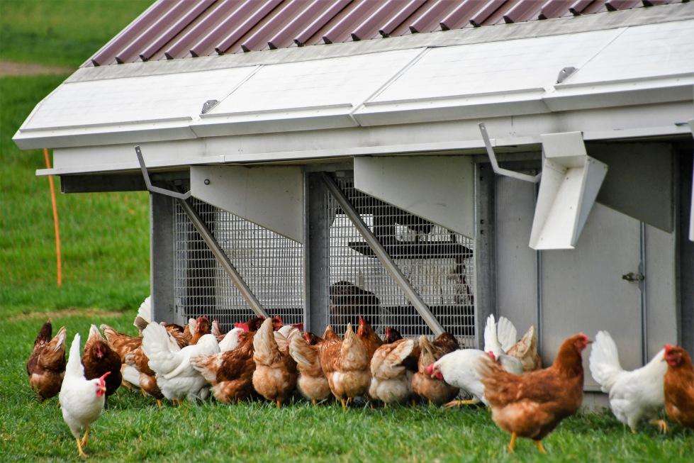chickens-14.03-18