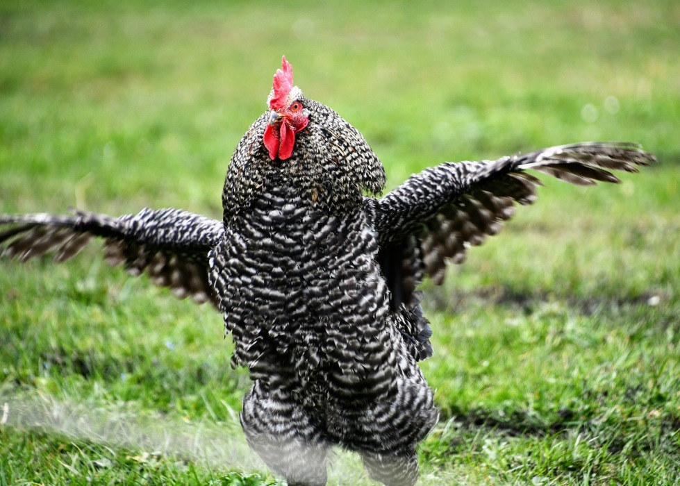 chickens-14.03-3
