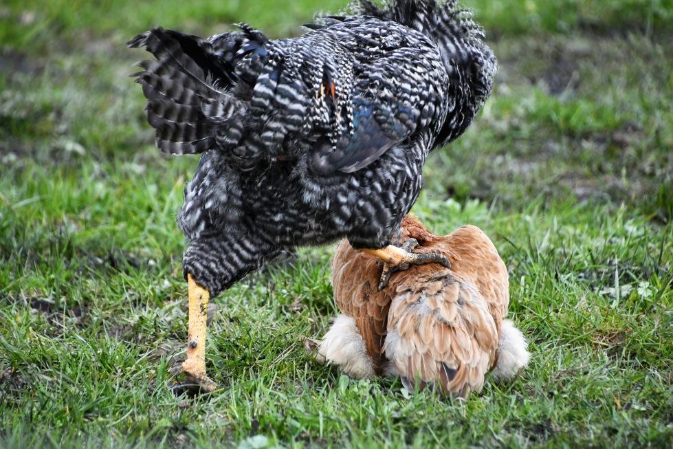 chickens-14.03-9