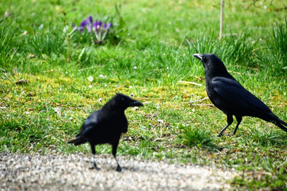 crows-04.03-3