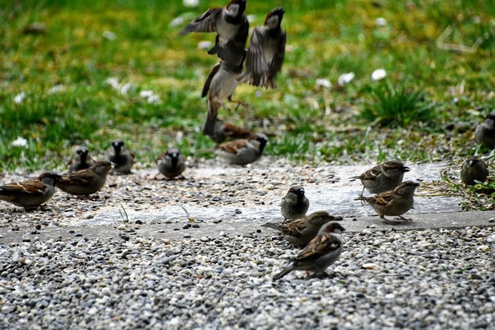 sparrows-29.02-1