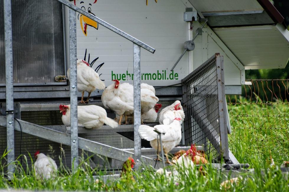chickens-24.05-2