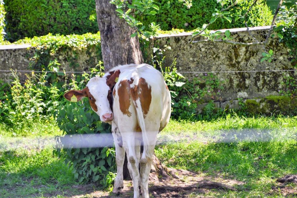 cows-17.05-6