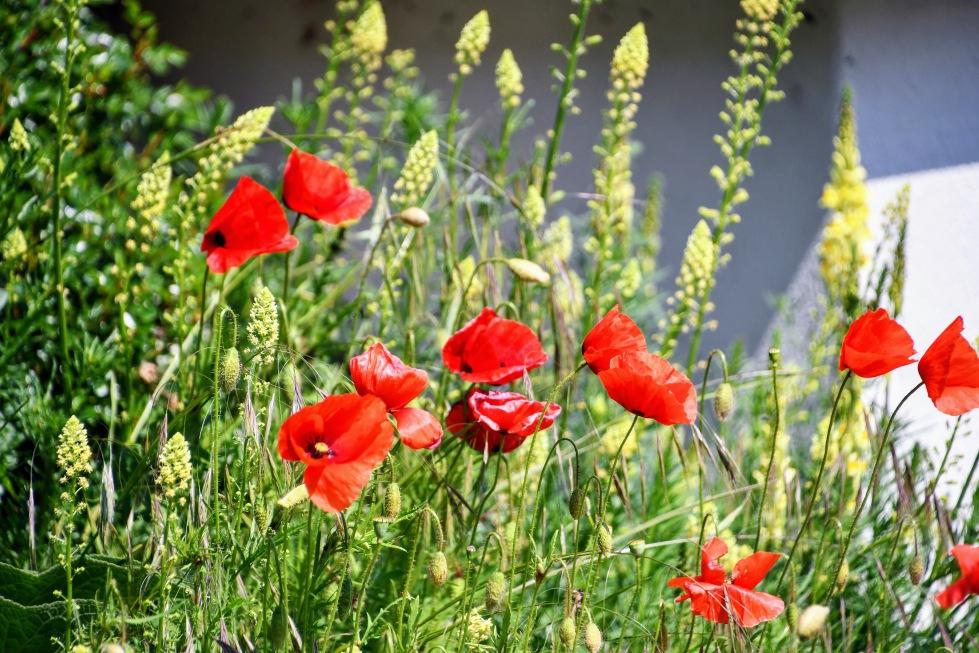 poppies-17.05-1