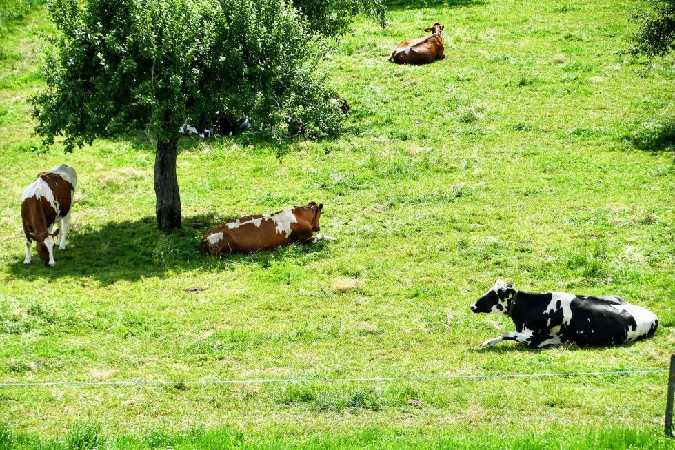 cows-11.06.2020-4