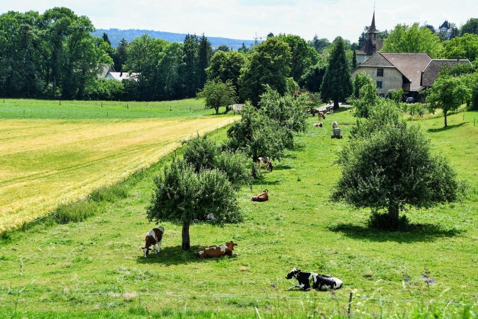 cows-11.06.2020-7