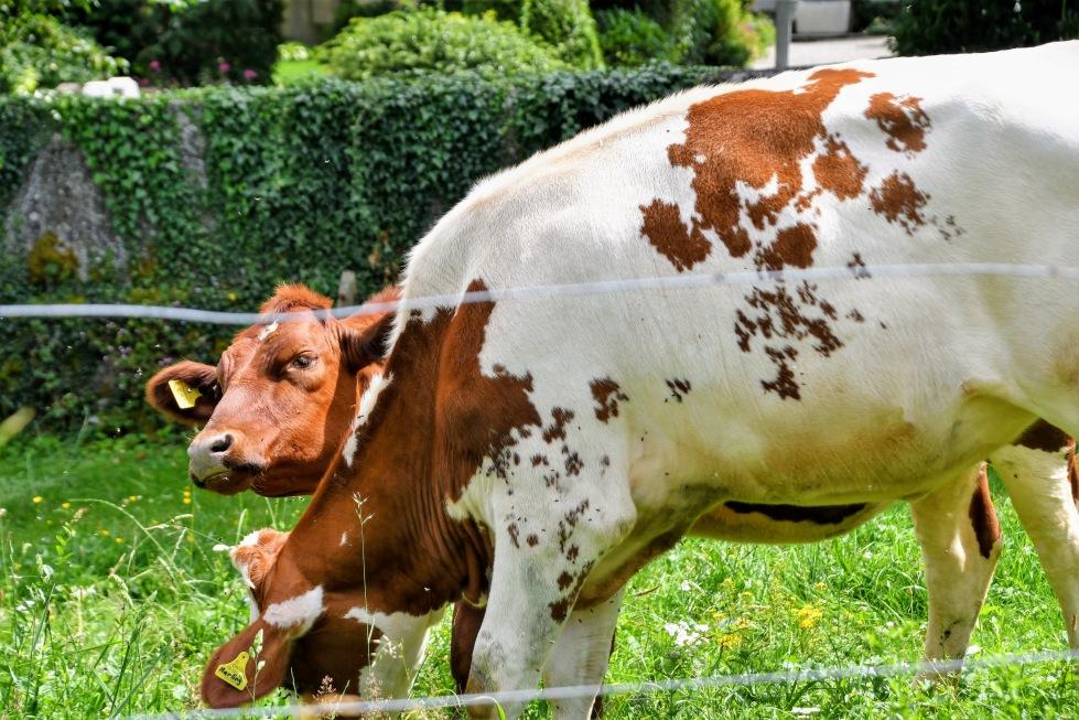 cows-2806-4