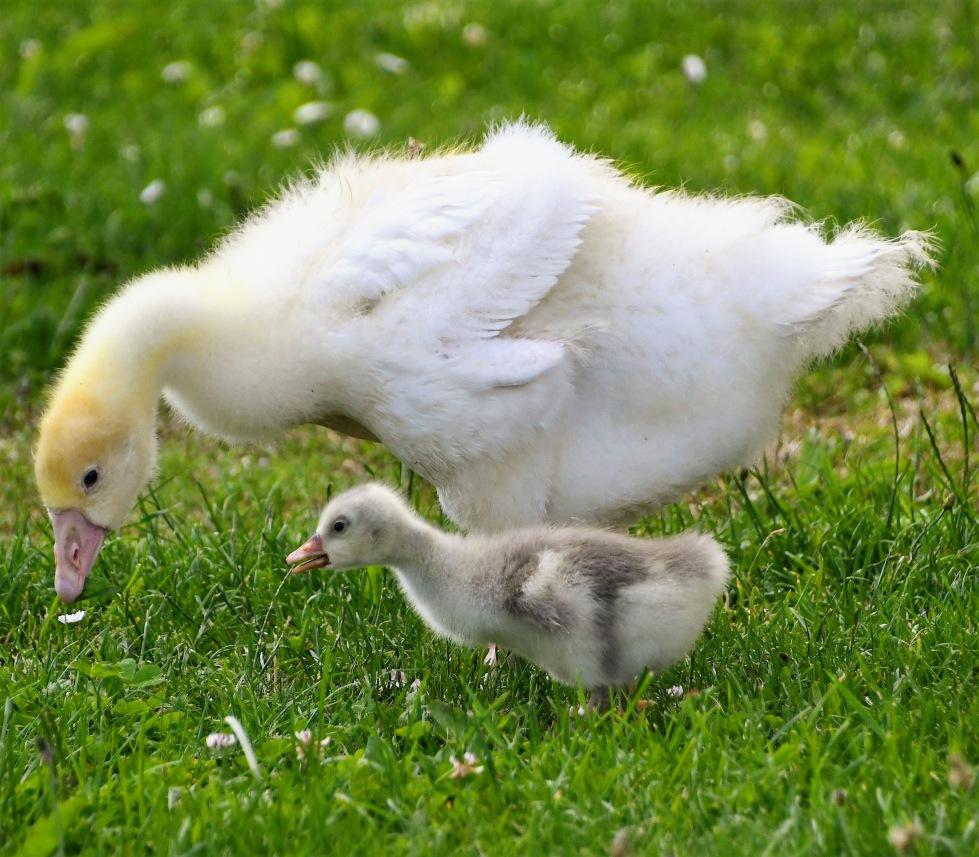goose-21.06-6
