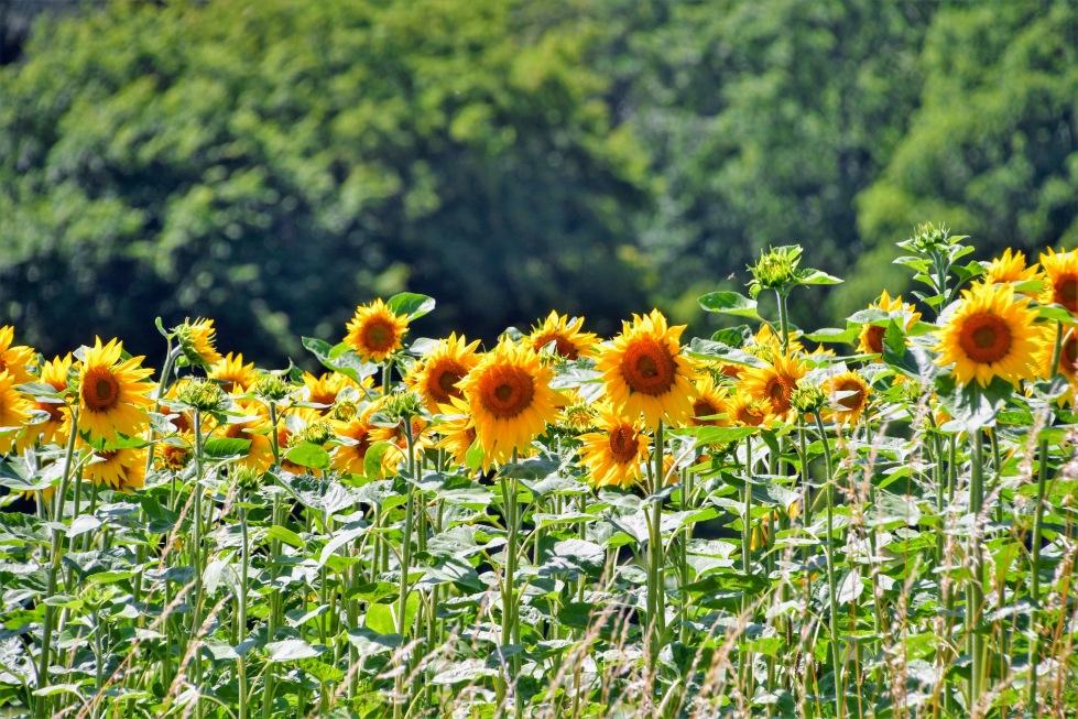 sunflowers-27.06.2020