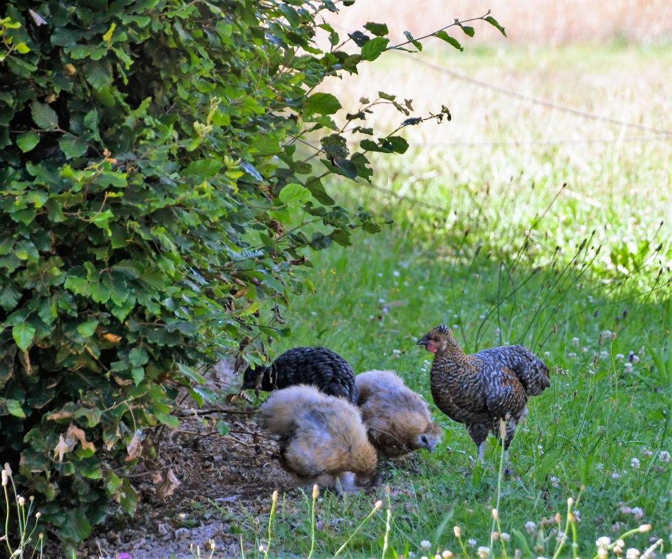 chickens-20.07-7