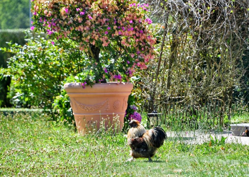 chickens-20.07-8