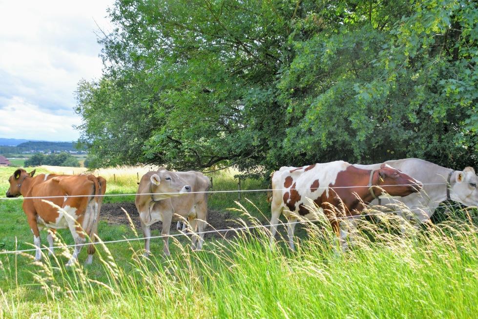 cows-02.07-14