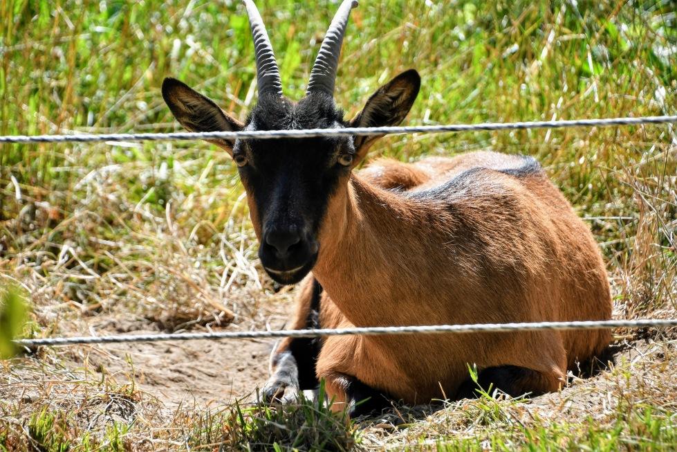 goat-09.07-2