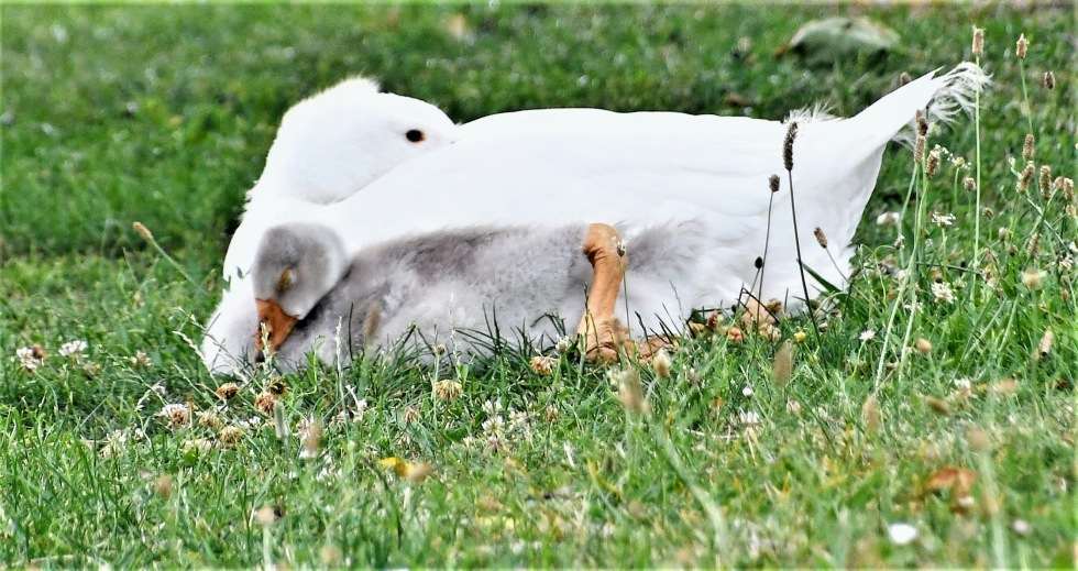 goose-and-baby-14.07.2020