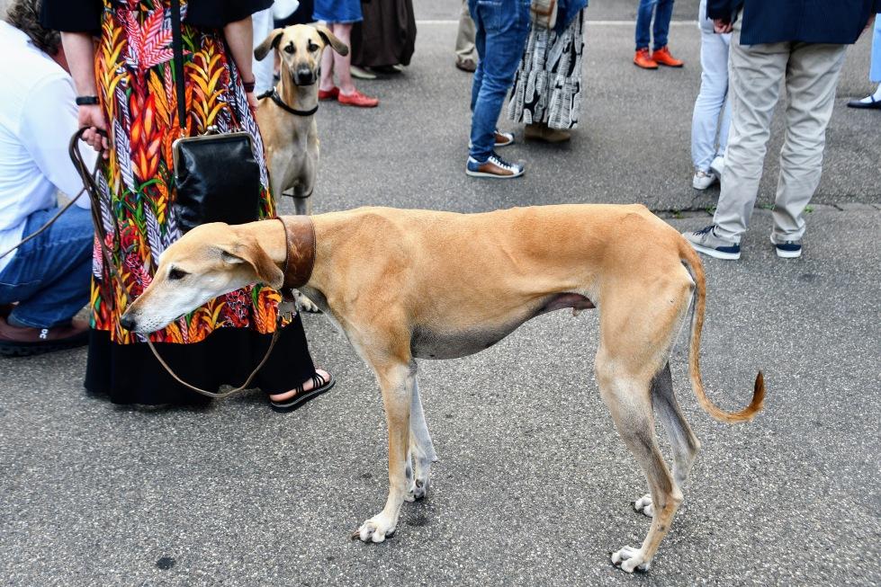 greyhound-11.07.2020