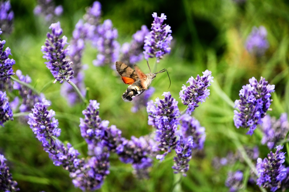 lavender-with-hawk-moth-11.07-10
