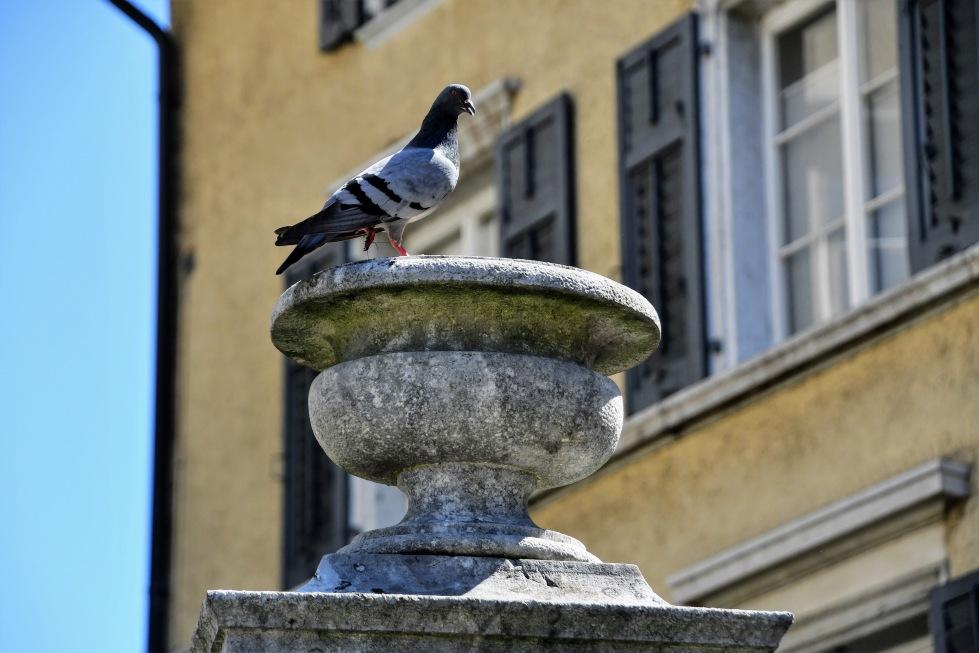 pigeons-30062020-3