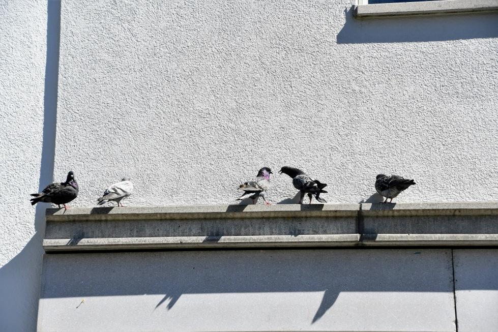 pigeons-30062020-6