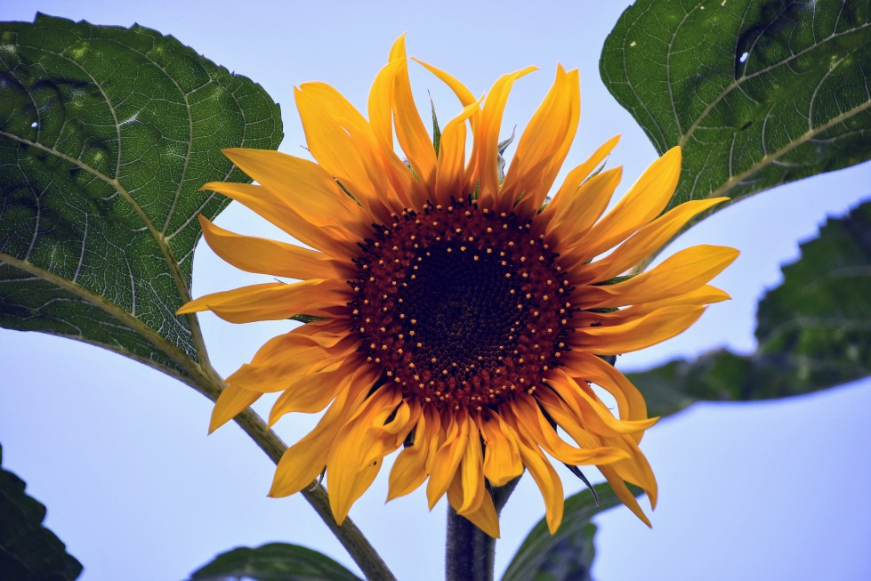 sunflower-11.07-1