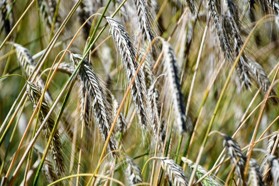 wheat-09.07.2020