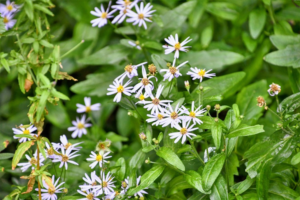 white-wood-aster-16.07.2020