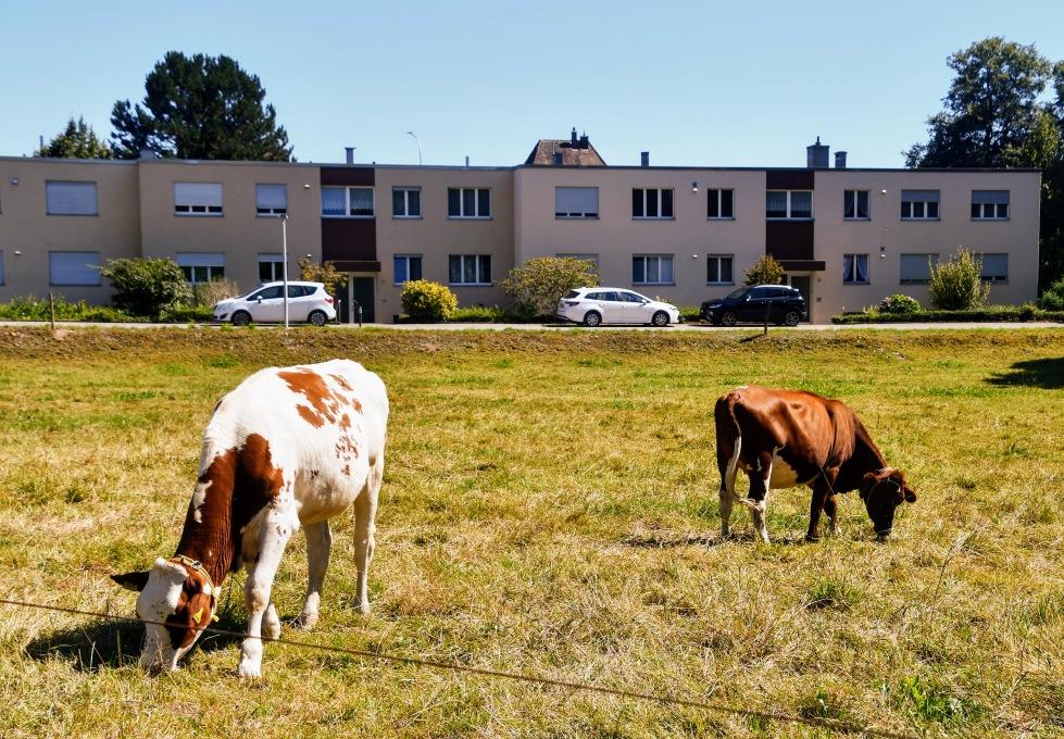 cows-06.08-1