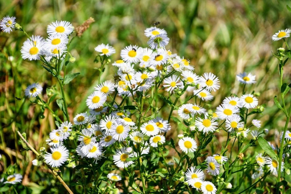 daisies-06.08-2