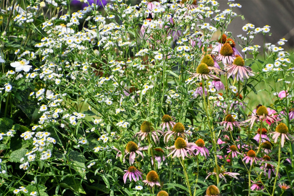 daisies-and-echinacea-15.08.2020