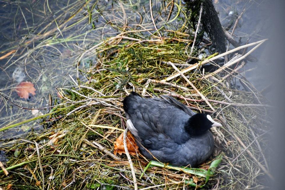 duck-nest-04.08-2